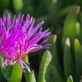 Ice plant (Carpobrotus edulis).- Moran Lake Park