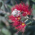 Pink bottle brush (Callistemon viminalis).- Moran Lake Park