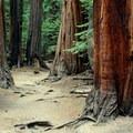 Giant sequoias (Sequoiadendron giganteum).- Half Dome Hike via John Muir Trail