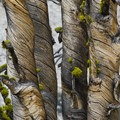 Dead whitebark pine detail.- Johnson Lake