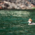 A female common merganser (Mergus merganser) swims along the shore of Raft Island.- Raft Island Sea Kayaking Circumnavigation