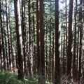 The East Ridge travels through a Douglas fir forest.- Marys Peak via East Ridge