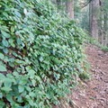 Walls of salal line parts of the trail.- Marys Peak via East Ridge
