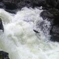 Salmon jumping in the cascade.- Sol Duc River Salmon Cascades