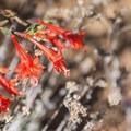 Gray California fuchsia (Epilobium cana).- Knibbs Knob