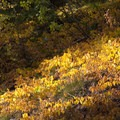 Beautiful fall colors highlight the understory.- Johnson Creek to North Fork of the Ross Fork