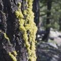 Douglas fir bark and lichen detail.- Redfish Lake Loop, Grand Mogul Trail to Bench Lakes
