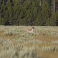 Pronghorn Antelope graze on the open sage flats near the Huckleberry Creek Trailhead.- Huckleberry Creek