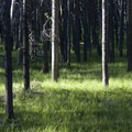 Thick lodgepole forest along lower Huckleberry Creek.- Huckleberry Creek