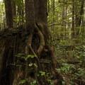 Western hemlock (Tsuga heterophylla) on a nurse stump.- Ozette Triangle Loop Trail