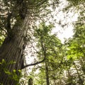 Old-growth western redcedar (Thuja plicata) on the Cape Alava Trail.- Ozette Triangle Loop Trail