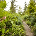 Salal (Gaultheria shallon) on along the Cape Alava Trail.- Ozette Triangle Loop Trail