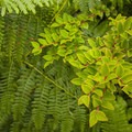 Bracken fern (Pteridium aquilinum) and evergreen huckleberry (Vaccinium ovatum) along the Cape Alava Trail.- Ozette Triangle Loop Trail