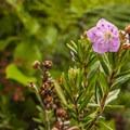 Western bog laurel (Kalmia microphylla).- Ozette Triangle Loop Trail