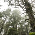 Old-growth sitka spruce (Picea sitchensis) along the Cape Alava Trail.- Ozette Triangle Loop Trail