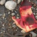 Remains of sea palms (Postelsia palmaeformis) near Cape Alava.- Ozette Triangle Loop Trail