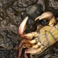 Dead crab near Cape Alava.- Ozette Triangle Loop Trail