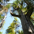 Old-growth western redcedar (Thuja plicata) on the Sand Point Trail.- Ozette Triangle Loop Trail