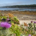 Indian thistle (Cirsium edule) at Sand Point, Olympic National Park.- Ozette, North Sand Point Trail