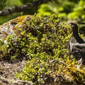 Grouse along the Mount Storm King Trail.- Mount Storm King Trail