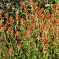 Giant red indian paintbrush (Castilleja miniata)- Mount Judah Loop