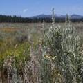 Sagebrush in Martis Valley along the Martis Creek Trail.- Martis Creek Trail