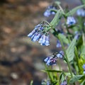 Idaho bluebell (Mertensia campanulata).- North Fork of the Big Wood - Amber Lakes