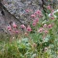 Prairie smoke (Geum trilflorum).- Fall Creek - Surprise Valley, Broad Canyon Divide