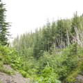 Hike along the Heliotrope Trail.- Mount Baker via Coleman Glacier