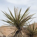 Yucca in Joshua Tree National Park.- Arch Rock Nature Trail