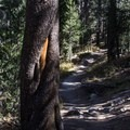 Much of the loop travels in the shade of a lodgepole pine forest.- Lembert Dome Loop