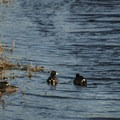 American coot (Fulica americana) also sometimes referred to as mud hens.- Steigerwald Lake National Wildlife Refuge