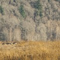 Canada geese (Branta canadensis) at Steigerwald National Wildlife Refuge.- Steigerwald Lake National Wildlife Refuge