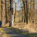 Birding/hiking trail through black cottonwoods (Populus trichocarpa) at Steigerwald National Wildlife Refuge.- Steigerwald Lake National Wildlife Refuge