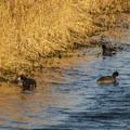 Unidentified duck species (help us identify it by providing feedback).- Steigerwald Lake National Wildlife Refuge