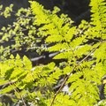 Illuminated ferns along the Tokopah Falls Trail.- Tokopah Valley Trail