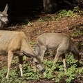 Nary a flinch from the trailside mule deer when hikers pass.- Tokopah Valley Trail