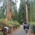 A paved trail leads through the giant sequoias of Grant Grove and to the General Grant Tree. - Grant Grove + General Grant Tree