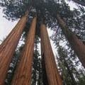 Giant sequoias of General Grant Grove.- Grant Grove + General Grant Tree