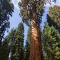 General Sherman Tree.- General Sherman Tree