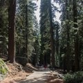 The tree is accessed via a quarter-mile walk downhill from the main car park.- General Sherman Tree