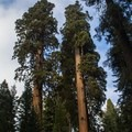 Giant sequoias (Sequoiadendron giganteum) near Crescent Meadow.- Crescent Meadow