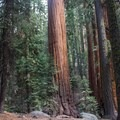 Sequoia National Park's Giant Forest.- Giant Forest