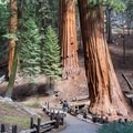 Giant sequoias (Sequoiadendron giganteum) stand apart in Sequoia National Park's Giant Forest. - Giant Forest