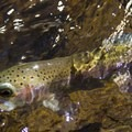 Rainbow trout (Oncorhynchus mykiss). South Fork San Joaquin River.- Mono Hot Springs