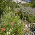 Mid-summer wildflowers decorate springs that emerge at several spots in the meadows.- North Fork of the Big Wood - West Fork of the North Fork