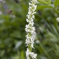 White bog orchid (Platanthera dilatata).- North Fork of the Big Wood - West Fork of the North Fork