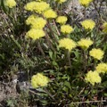Golden buckwheat (Erigonum flavum).- North Fork of the Big Wood - West Fork of the North Fork
