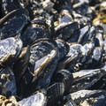 California mussels (Mytilus californianus) at Tongue Point.- Tongue Point