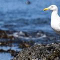 Western gull (Larus occidentalis) at Tongue Point.- Tongue Point